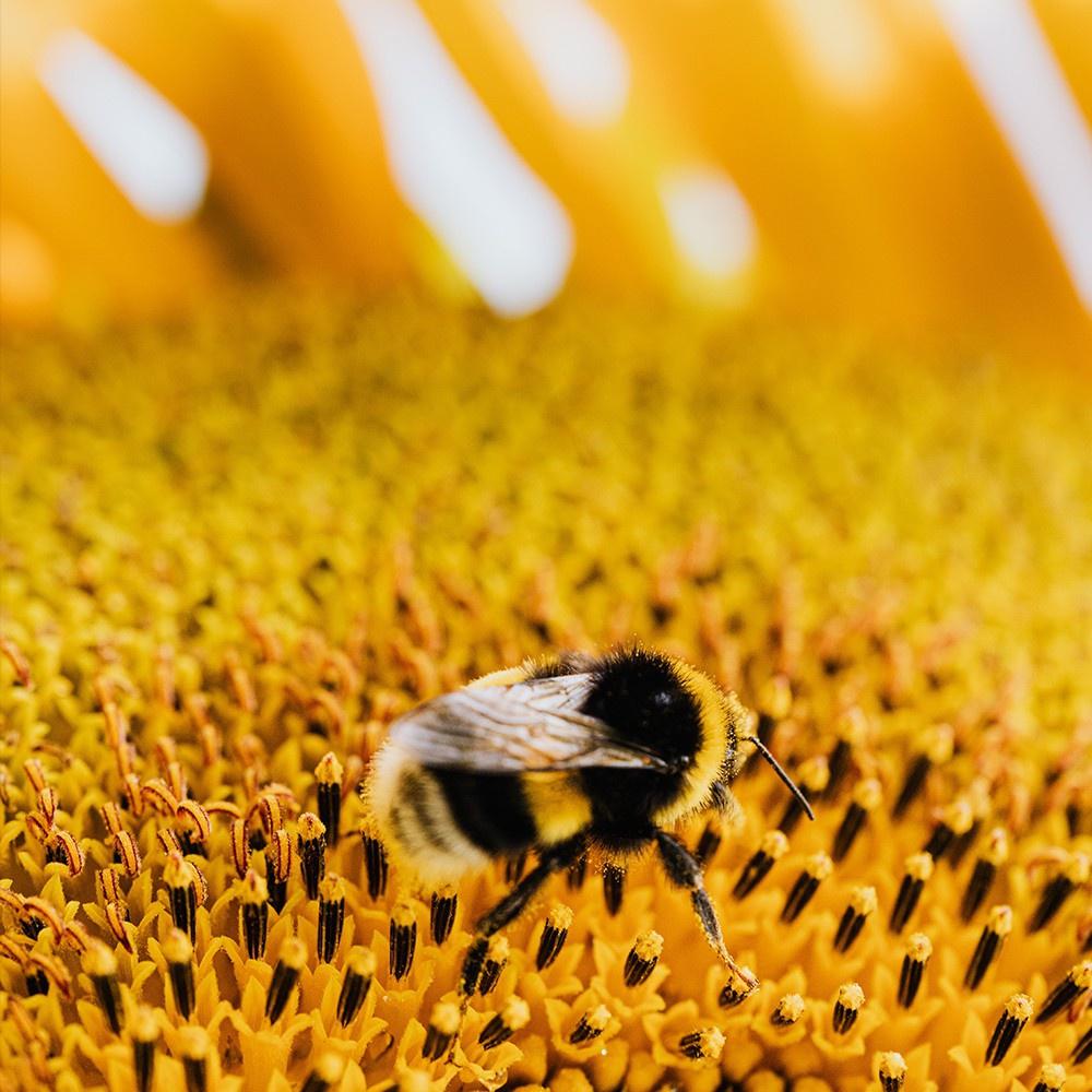 Pollen Frais | Pollen de Garrigue | Miel Rayon d'Or