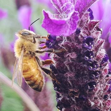 """miel de tilleul bio """"(àg pot verre - Miel Rayon d'Or"""