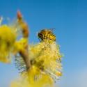 Miel de Pommier • Miel Rayon d'Or