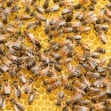 Miel de coriandre catalan • Rayon d'Or